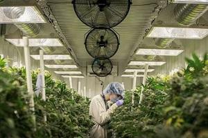Delta 9 Cannabis Scores Record Revenues Ahead of TSX Listing